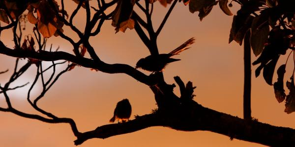 Fantails in a tree at sunset