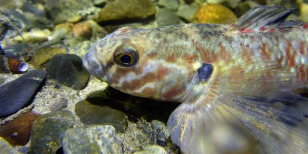 Fish - Redfin Bully