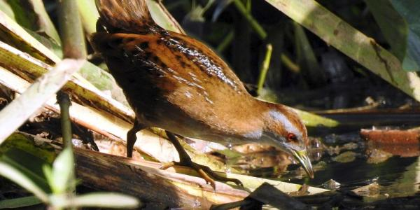 Marsh Crake, or Baillon's Crake by Dr Raju Kasambe