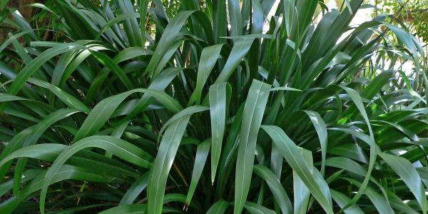 New Zealand Flax - a common type of riparian vegetation