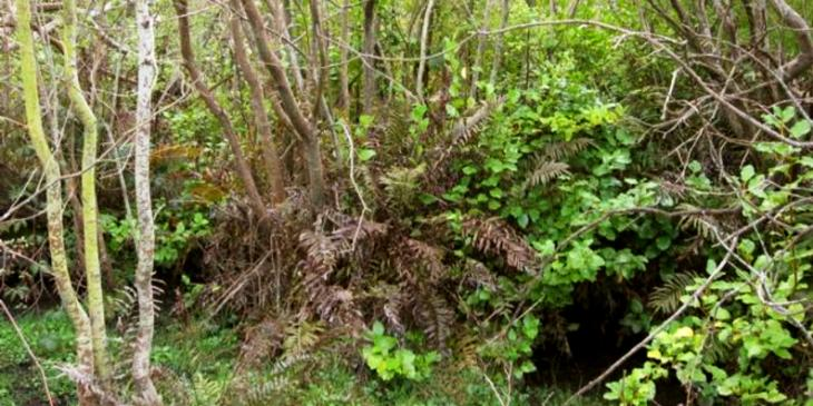 Natural regeneration of native plants under taller willow tree canopy
