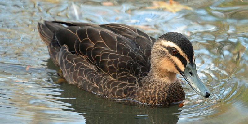 Grey Duck, or Pacific Black Duck