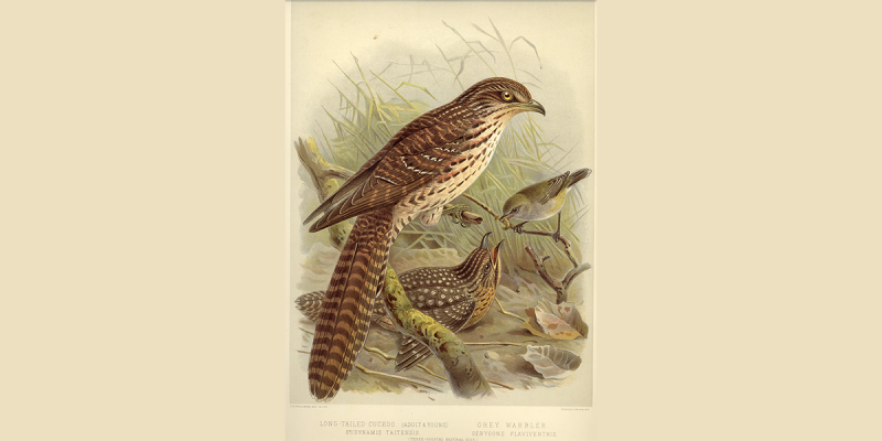 Long-Tailed-Cuckoo