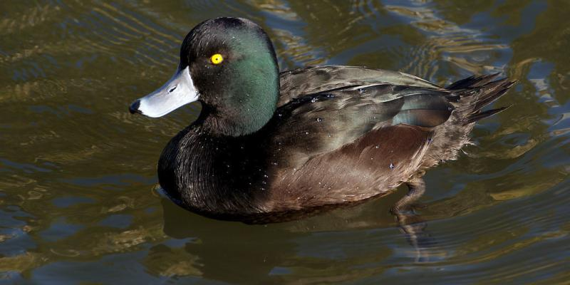 New Zealand Scaup