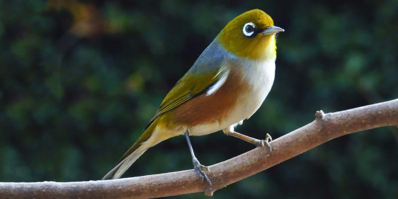 Silvereye or white-eye, or waxeye